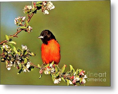 Baltimore Oriole Metal Print by James F Towne