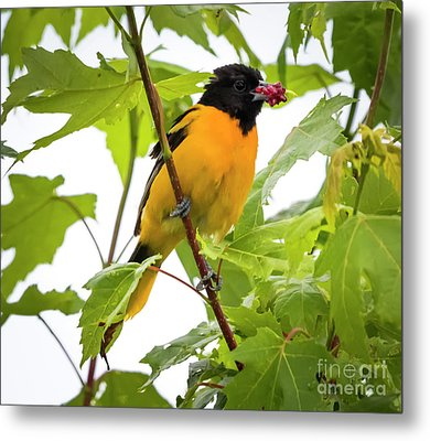 Metal Print featuring the photograph Baltimore Oriole With Raspberry  by Ricky L Jones