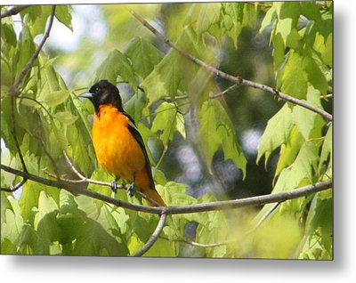 Baltimore Orioles  Metal Print by Nancy TeWinkel Lauren