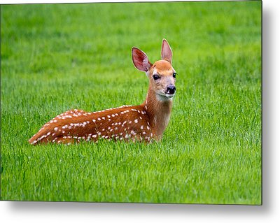Metal Print featuring the photograph Bambi At Rest by Timothy McIntyre
