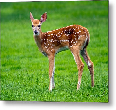 Metal Print featuring the photograph Bambi by Timothy McIntyre