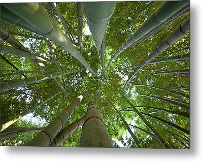Bamboo Forest Metal Print by Tom Clabough