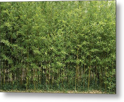 Bamboo Trees In A Forest, Fukuoka Metal Print by Panoramic Images