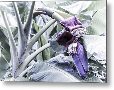 Metal Print featuring the photograph Banana Beginnings In Cool Shades by Kerri Ligatich