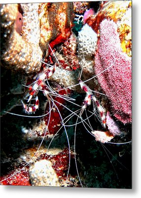 Banded Coral Shrimp - Caught In The Act Metal Print