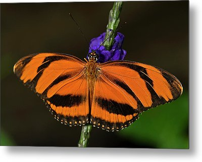 Banded Orange Butterfly Metal Print by JT Lewis