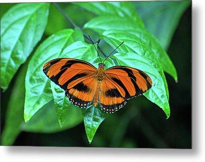 Banded Orange Longwing Butterfly Metal Print
