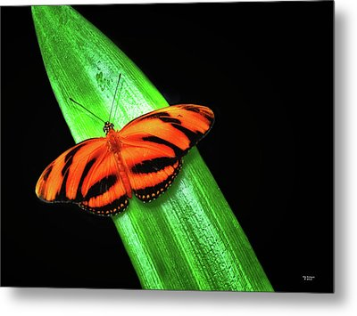 Banded Orange Longwing Metal Print