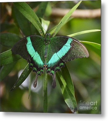 Banded Peacock Butterfly Metal Print
