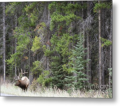 Banff Canada Elk Woodland Landscape Metal Print by Andrea Hazel Ihlefeld