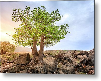 Metal Print featuring the photograph Baobab Tree by Alexey Stiop