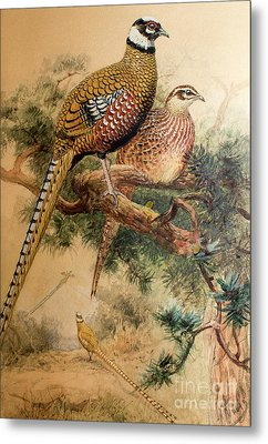 Bar-tailed Pheasant Metal Print by Joseph Wolf