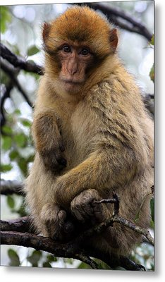 Metal Print featuring the photograph Barbary Ape by Ramona Johnston
