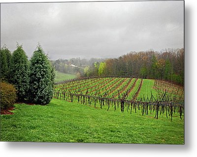 Bare Vineyard Metal Print