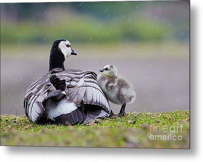 Barnacle Goose With Chick In The Rain Metal Print