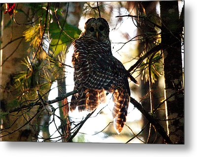 Barred Owl At Sunrise Metal Print by Brent L Ander