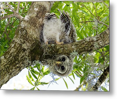 Metal Print featuring the photograph Barred Owlet Contortionist by Phil Stone