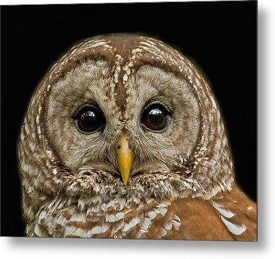 Barred Owl Fledgling Metal Print