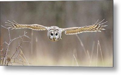 Barred Owl In Flight Metal Print