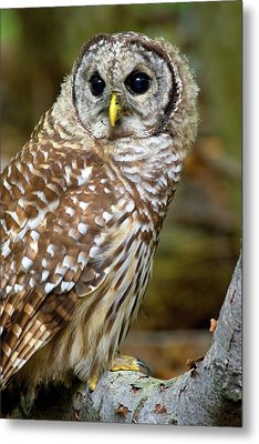 Barred Owl Juvie Metal Print by Timothy McIntyre
