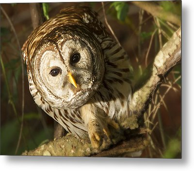 Barred Owl Peering Metal Print by Jean Noren