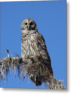 Barred Owl Portrait Metal Print by Barbara Bowen