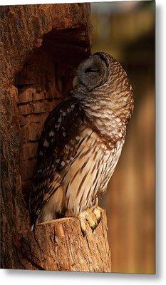 Metal Print featuring the digital art Barred Owl Sleeping In A Tree by Chris Flees