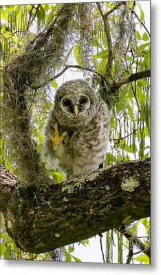 Metal Print featuring the photograph Barred Owlet High Four by Phil Stone