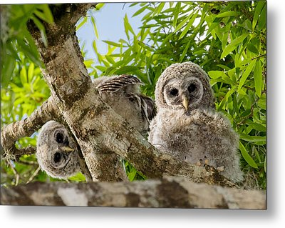 Metal Print featuring the photograph Barred Owlet Twins by Phil Stone