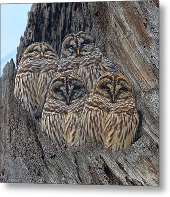 Barred Owls Who Are You Metal Print by Betsy Knapp