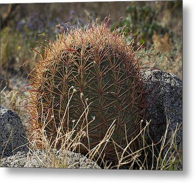 Barrel Cactus Metal Print by Kelley King