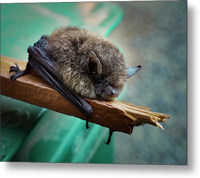Metal Print featuring the photograph Bat Rehoused by Jean Noren