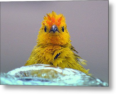 Metal Print featuring the photograph Bath Time Finch by Lori Seaman