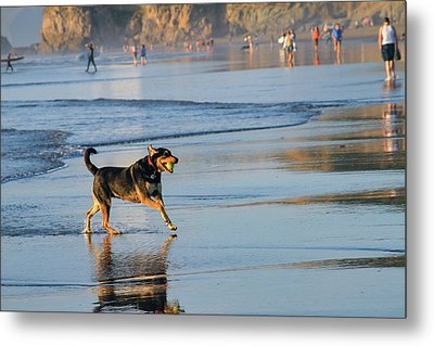 Beach Dog Playing Fetch Metal Print