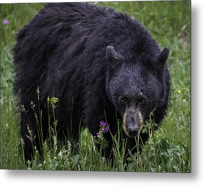 Bear Gaze Metal Print