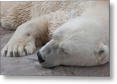 Metal Print featuring the photograph Bear Nap by Cindy Haggerty