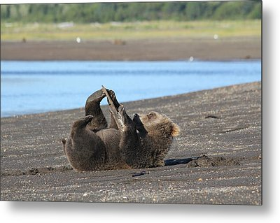 Bear Playing With Stick Metal Print by David Wilkinson