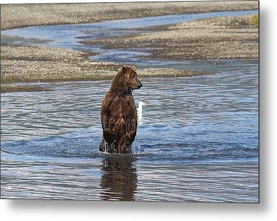 Bear Standing In River Metal Print by David Wilkinson