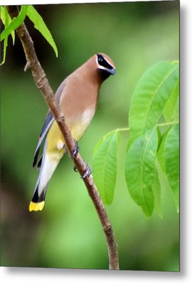 Beautiful Cedar Wax Wing  Metal Print by Sheri McLeroy