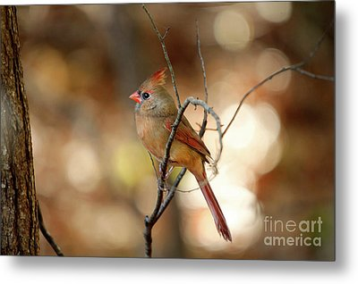 Metal Print featuring the photograph Beautiful Female Cardinal by Darren Fisher
