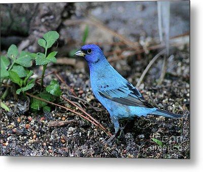 Beautiful Indigo Bunting Metal Print by Sabrina L Ryan