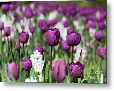 Beautiful Magenta Tulips In Spring Metal Print by Louise Heusinkveld