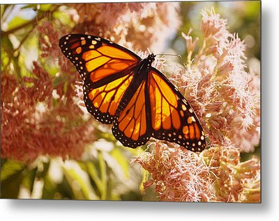 Beautiful Monarch Metal Print by Beth Collins