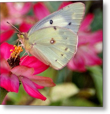Beautiful Moth Metal Print by Jean Haynes