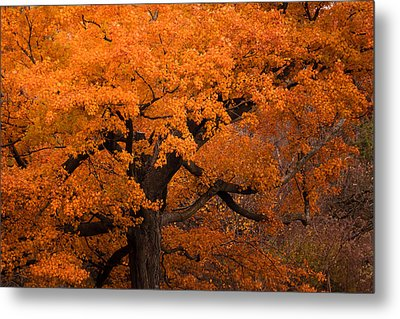 Beautiful Orange Tree On A Fall Day Metal Print by Joni Eskridge