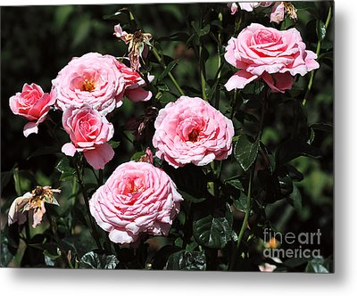 Beautiful Pink Rose L'aimant Metal Print by Louise Heusinkveld