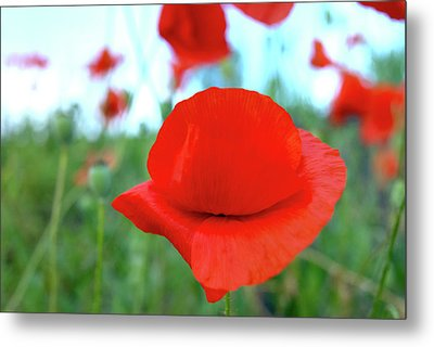 Beautiful Poppy Metal Print by Nat Air Craft
