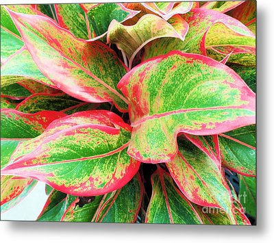 Metal Print featuring the photograph Beautiful Red Aglaonema by Ray Shrewsberry