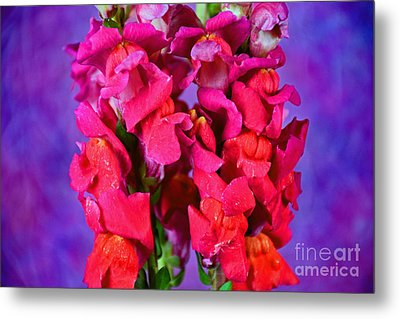 Beautiful Snapdragon Flowers Metal Print by Ray Shrewsberry