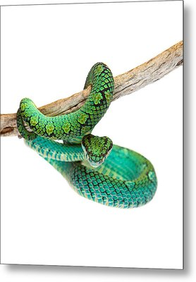 Beautiful Sri Lankan Palm Viper Metal Print
